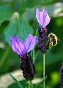 Backlit Photo Originals - Busy Bee by Tanya  Searcy
