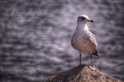 Gull Digital Art Prints - But This Is My Good Side Print by The Stone Age