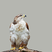 Grey Background Photos - Buteo regalis by Gabriela Insuratelu