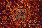 Stellate Metal Prints - Buttercup Vascular System Metal Print by M. I. Walker