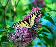 Butterflies Art - Buttered Lilacs by Terri Creasy