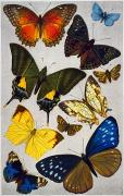 19th Century America Prints - BUTTERFLIES, 19th CENTURY Print by Granger