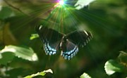 Freed Photo Prints - Butterflies Are Free Print by Barbara S Nickerson