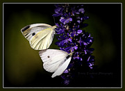 Travis Truelove Photography Posters - Butterflies - Cabbage Whites Poster by Travis Truelove
