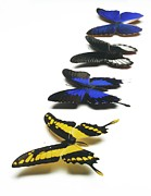 Papilio Thoas Framed Prints - Butterflies Framed Print by Lawrence Lawry