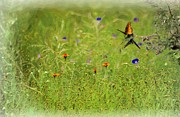 Love Making Prints - Butterflies Making Love In The Meadow Print by John  Kolenberg