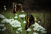 Rheann Earnest - Butterflies on Chive...