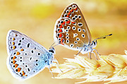 Animals Photos - Butterflies by Photo by cuellar