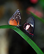 Butterflies Print by Skip Willits