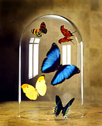 Flying Photos - Butterflies under glass dome by Tony Cordoza