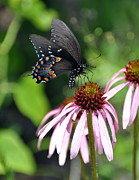 Butterfly And Coine Flower Print by Marty Koch