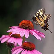 Byron Varvarigos Framed Prints - Butterfly and Coneflower Framed Print by Byron Varvarigos