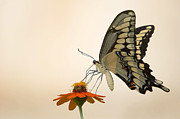 Jason Smith Prints - Butterfly and Flower Print by Jason Smith