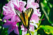 Butterfly And Rhododenren Print by Judy Via-Wolff