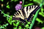Tiger Swallowtail Digital Art Framed Prints - Butterfly and Thistle Framed Print by Don Mann