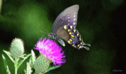 Purple Flowers Posters - Butterfly and Thistle Poster by Jeff Kolker