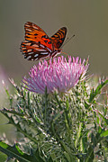Floral Photos Photos - Butterfly and Thistle by Juergen Roth