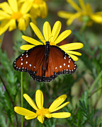 Orange And Black Butterfly Posters - Butterfly and yellow flowers Poster by Rebecca Margraf