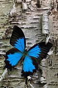 Birch Tree Metal Prints - Butterfly Metal Print by Andreas Freund