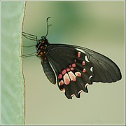 Ribbon Posters - Butterfly At Rest Poster by ©Joanne Hamblin