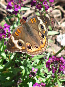 Orange And Brown Wings Metal Prints - Butterfly Basics Metal Print by Janara  Hoppock