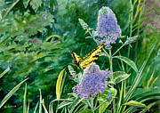 Butterfly Print Posters - Butterfly Bush Poster by Tom Hedderich