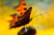 Kasia Dixon - Butterfly Butterfly