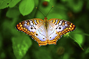 Insects Photo Originals - Butterfly Closeup by Randy Aveille
