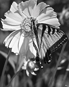 Fluttering Posters - Butterfly Collection Black White Poster by Debra     Vatalaro