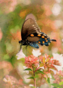 Pipevine Swallowtail Butterfly Prints - Butterfly Dream Print by Betty LaRue