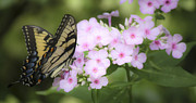 Phlox Photo Prints - Butterfly Dreams Print by Teresa Mucha