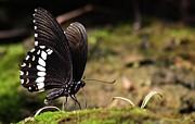 Ramabhadran Thirupattur - Butterfly Feeding