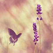 Flying Photos - Butterfly Flying Towards Lavender by Jody Trappe Photography