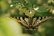 Dappled Light Framed Prints - Butterfly from Another Side Framed Print by Susan Capuano