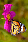 Danaus Genutia Prints - Butterfly II Print by Fotosas Photography