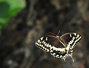 Black Swallowtail Prints - Butterfly in Flight Print by Paul Ward