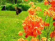 Azalea Bush Photo Prints - Butterfly in flight  Print by Sherman Perry