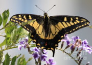 Butterfly On Flower Prints - Butterfly in My Garden Print by Carol Groenen