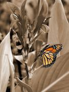 Macro Photo Framed Prints - Butterfly in Sepia Framed Print by Lauren Radke