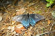 Pipevine Swallowtail Butterfly Prints - Butterfly in the forest Print by David Lee Thompson
