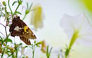 Barry Jones - Butterfly in the Petunias