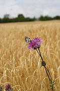Thisle Framed Prints - Butterfly in wheat field Framed Print by Jessica Rose
