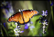Queen Photos - Butterfly Kisses by Saija  Lehtonen