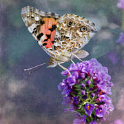 Painted Lady Butterflies Prints - Butterfly Love Print by Betty LaRue