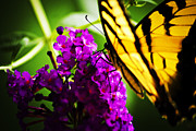 Butterfly Prints Artwork Photo Acrylic Prints - Butterfly meet Butterfly Bush Acrylic Print by Steve Buckenberger