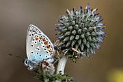 Wildlife Insect Posters - butterfly on a Echinops adenocaulon Poster by Nahum Budin
