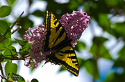 Sunlight Photos - Butterfly On A Lilac by Rachele Morlan