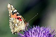 Wildlife Insect Posters - butterfly on a Silybum marianum I Poster by Nahum Budin