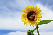 Bold Photos - Butterfly on a Sunflower by Shane Bechler