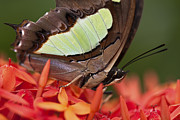 Pretty Brown Eyes Posters - Butterfly on an Ixora Poster by Zoe Ferrie